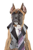 Germany Boxer puppy in tie on a white background — Stock Photo