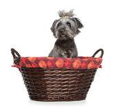 Lhasa Apso dog sitting in basket — Stock Photo
