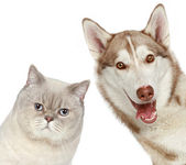 British cat and Husky dog. Close-up portrait. — Stock Photo