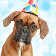 Stock Photo: German Boxer puppy in party cone