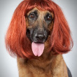 German shepherd. Funny portrait in a wig - Stock Photo