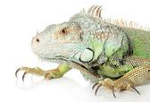 Iguana. Close-up portrait on a white background — Stock Photo