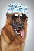 German shepherd in dark sunglasses. Funny portrait — Stock Photo