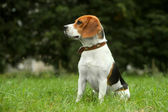 Beagle puppy on grass — Stock Photo