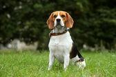 Beagle puppy on grass — Stock Photo