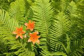 Wild orange lily among ferns. — Stock Photo