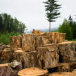 Stock Photo: Wood sawn log