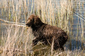 Hunting dog — Fotografia Stock