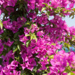 Stock Photo: Pink blooming bougainville