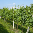 Spring vineyard in Croatia — Stock Photo