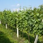 Spring vineyard in Croatia — Stock Photo