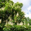 Branches of chestnut tree with white flowers — Stock Photo #5705895