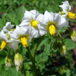 White flowers of potato in the garden — Stock Photo