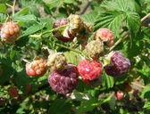 Berries of raspberry in the garden — Stock Photo