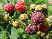 Green and red berries of raspberry — Stock Photo