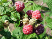 Raspberry with green and red berries — Stockfoto