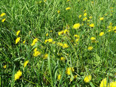 Yellow dandelions on the lawn — Stock Photo