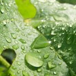 A lot drops on the big green leaf — Stock Photo