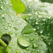 Stock Photo: A lot drops on the big green leaf