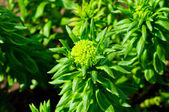 Rhodiola rosea — Stock Photo