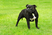 AMERICAN STAFFORDSHIRE TERRIER — Stock Photo