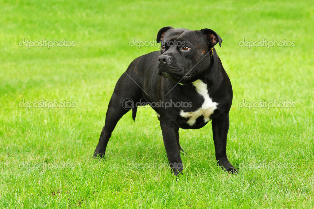 AMERICAN STAFFORDSHIRE TERRIER | Stock Photo © Waldemar Dabrowski ...
