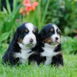 Stock Photo: Two Bernese Mountain Dog portrait