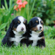 Two Bernese Mountain Dog portrait — Stock Photo