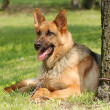 Germshepherd (shepard) dog portrait — Stock Photo #6312753