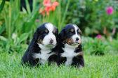 Two Bernese Mountain Dog portrait — Stock Photo