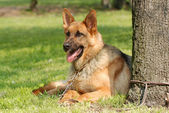 German shepherd (shepard) dog portrait — Foto Stock