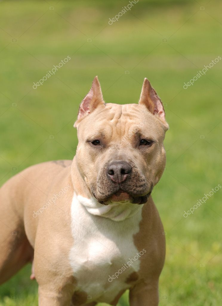 Pictures Of American Staffordshire Terrier Retrato de cão Am...