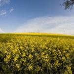 Windmill and rape field — Stock Photo