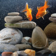 Stock Photo: Couple goldfish