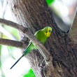 Budgerigars , shell parakeet on branch — Stock Photo