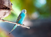 Nest out of focus and a shell parakeet on a branch — Stock Photo