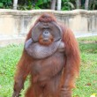 Big orangutan — Stock Photo