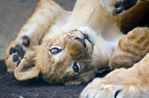 Small young lion — Stock Photo