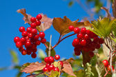 Branch of a ripe guelder-rose — Stock Photo