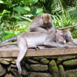 Long-tailed macaques (Macaca fascicularis)in Sacred Monkey Forest in Ubud - Stock Photo