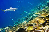Sharks over a coral reef at ocean — Stock Photo