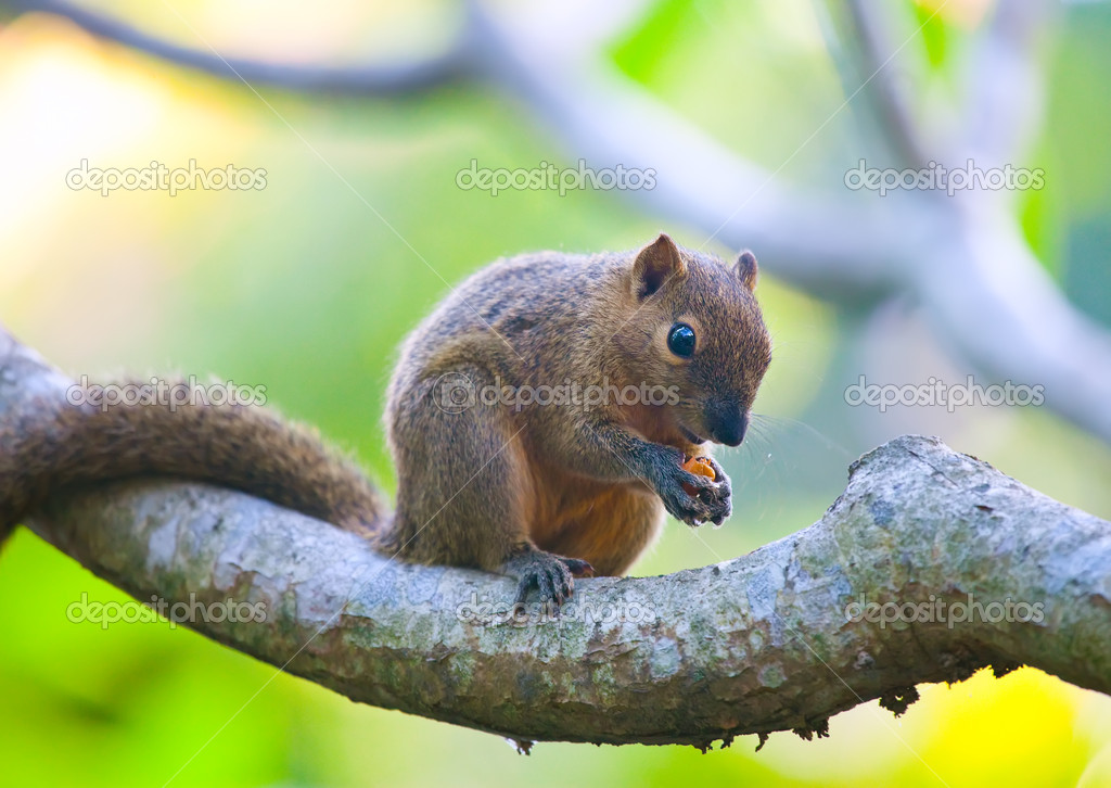 The tropical squirrel on a branch of a tree with a nut — Stock Photo #6002417