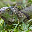 Big Iguana — Stock Photo