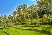 Bekijken op rijst terrassen, bali, indonesië — Stockfoto