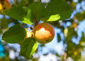 Apple sui rami di melo — Foto Stock