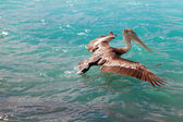 The pelican fishes in the sea — Stock Photo