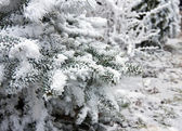 Fir-tree under snow — 图库照片