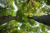 Zelené buky stromy — Stock fotografie
