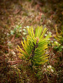Small pine tree — Stock Photo