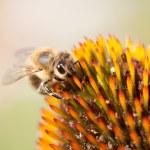 Echinacea flower — Stock Photo #6489759